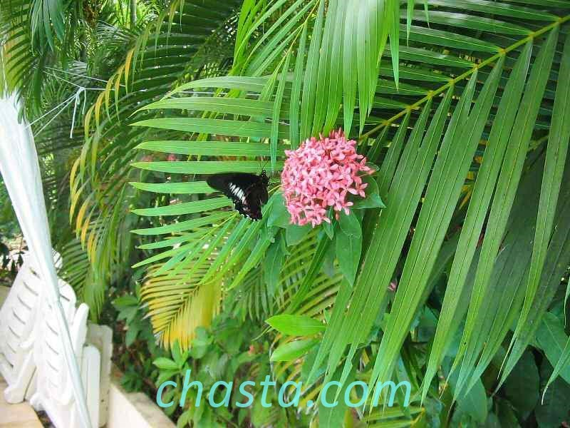 ixora - hortensia de chine